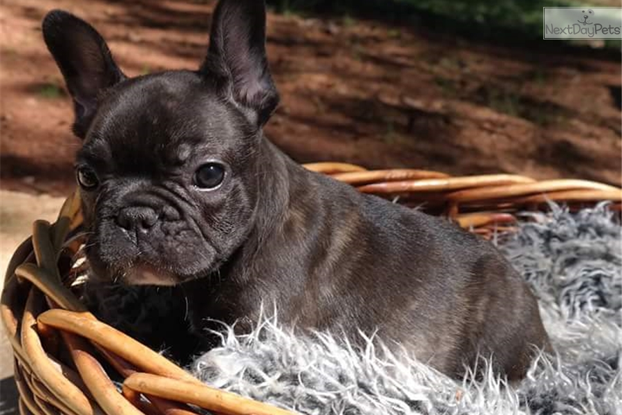 atlanta bulldog french bulldog puppy for sale near atlanta georgia 5699