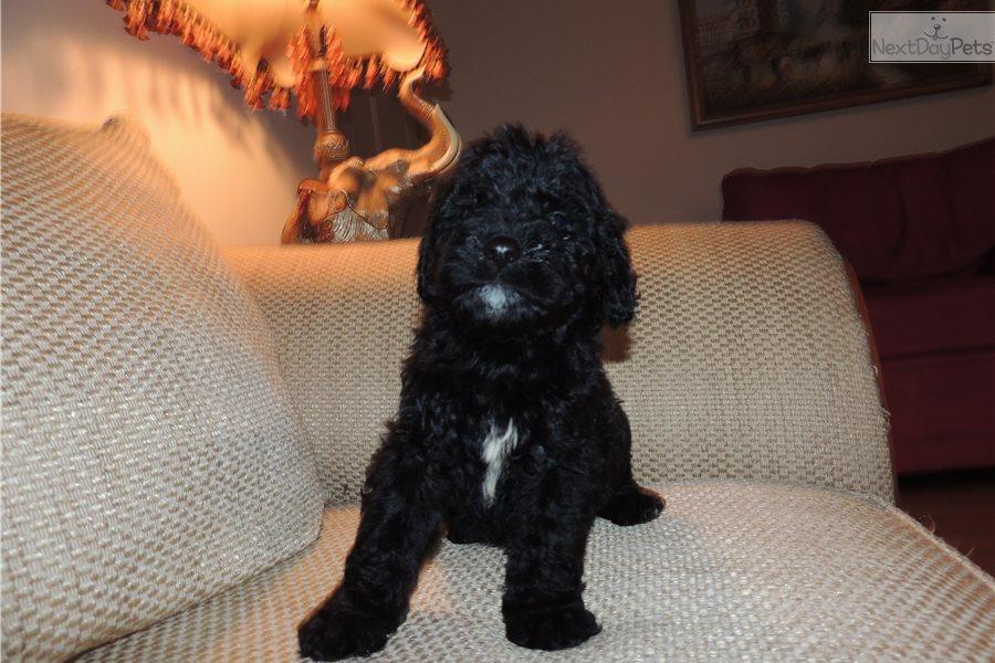 Gigi Female: Goldendoodle puppy for adoption near Boston