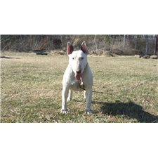 View full profile for Tennessee Bull Terriers
