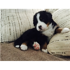 View full profile for North Carolina Bernese Mountain Dogs Of Canterbury