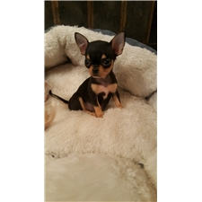 View full profile for Diane's Chihuahuas