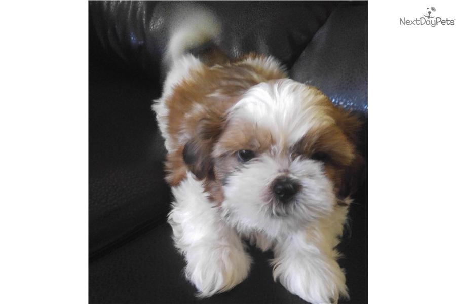 Bear Shih Tzu Puppy For Sale Near El Paso Texas 2938d5c8 01f1