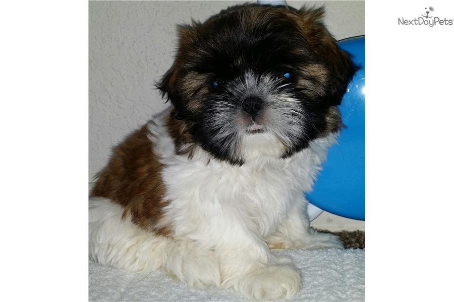 Jill Shih Tzu Puppy For Sale Near El Paso Texas D49b9942 Cd31