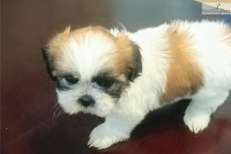 Sweetie Shih Tzu Puppy For Sale Near El Paso Texas Ccebf4bd 3441