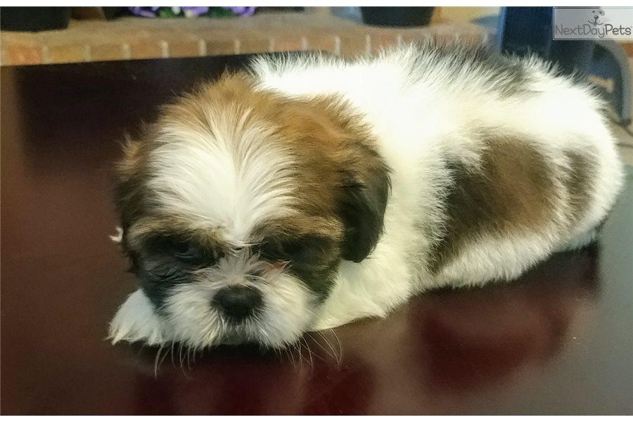 Grumpy Shih Tzu Puppy For Sale Near El Paso Texas C48a5dad A8b1