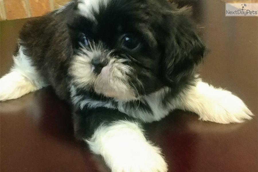 Tiny Shih Tzu Puppy For Sale Near El Paso Texas A21d61d2 8191