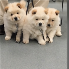 View full profile for Camelot Chow Chow's