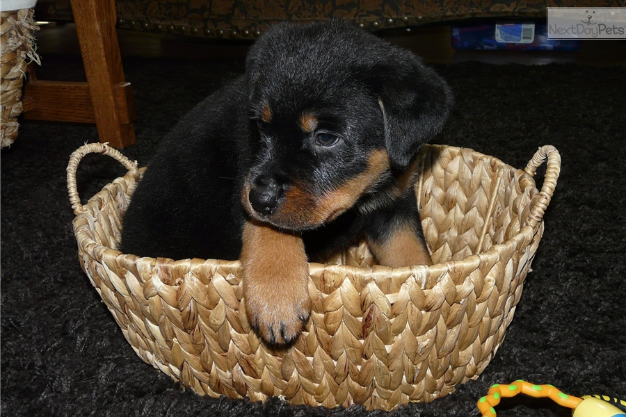 Alexis Rottweiler Puppy For Sale Near Salem Oregon E867c60a 2831
