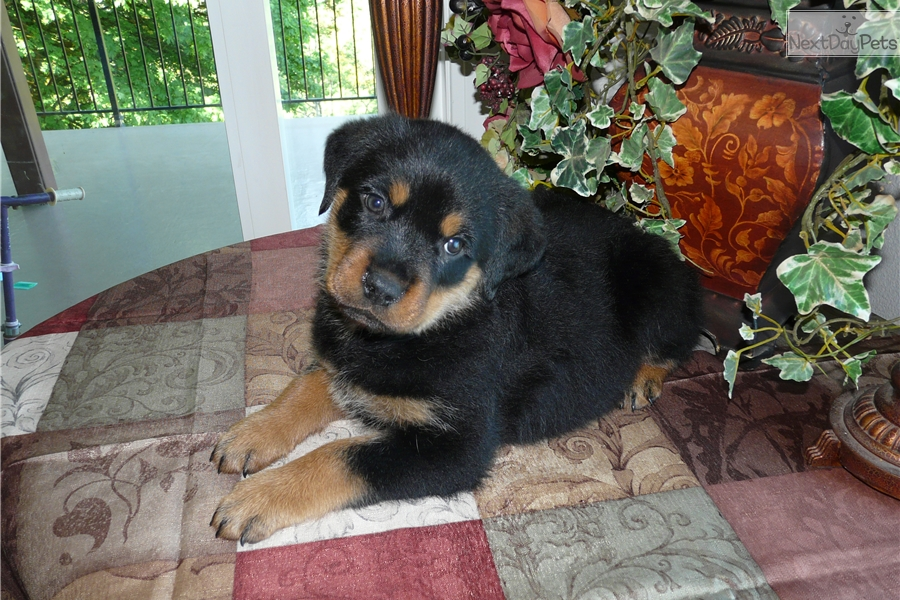 Nicky Rottweiler Puppy For Sale Near Salem Oregon C17e75dd 46a1
