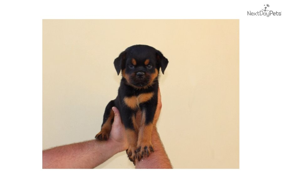 Rottweiler Puppy For Sale Near Los Angeles California Be469da7 2f21