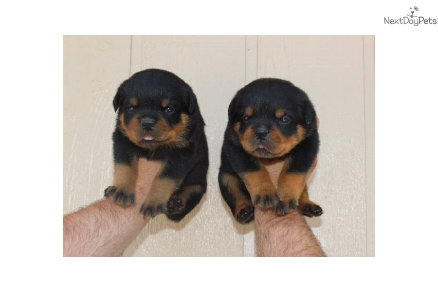 Rottweiler Puppy For Sale Near Los Angeles California F98c9bcf 31c1
