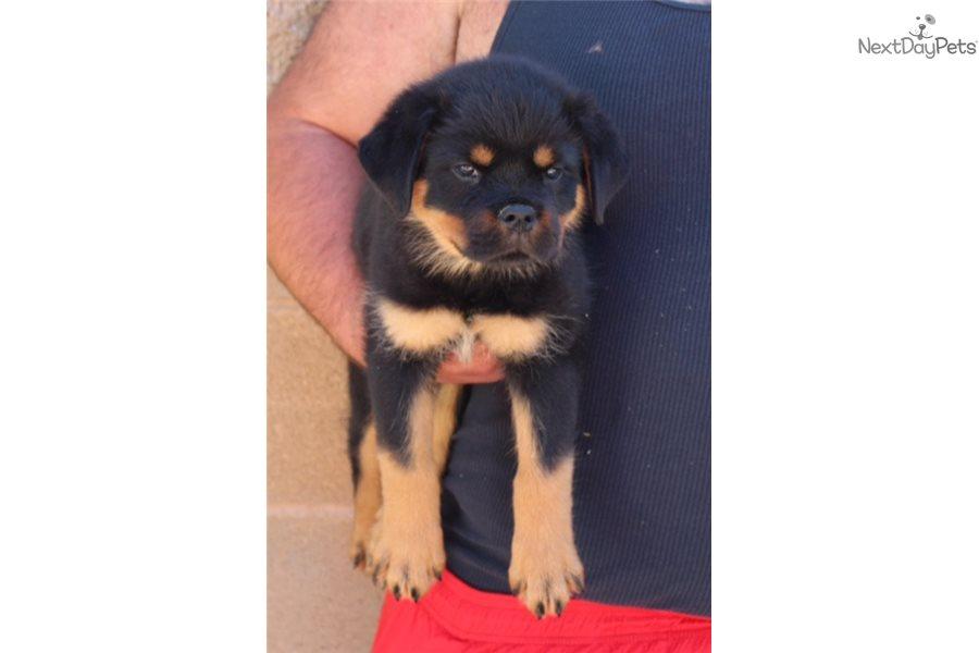 Rottweiler Puppy For Sale Near Los Angeles California Eba545b7 6561