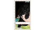 Picture of Rare Non-Shedding Barbet Puppies Available