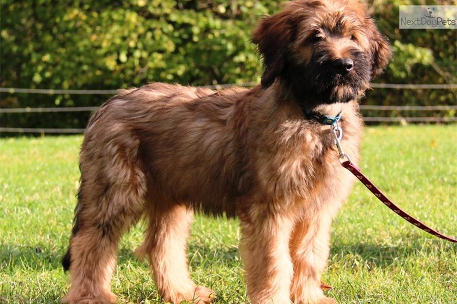 Nevil Briard Puppy For Sale Near Prague Czech Republic Bc71c6f8 8361
