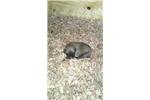 Picture of a Fila Brasileiro Puppy