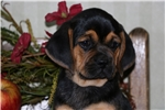 Puggle for sale