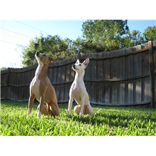 View full profile for Seaside Italian Greyhounds