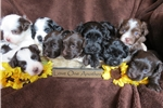 Featured Breeder of Collies with Puppies For Sale