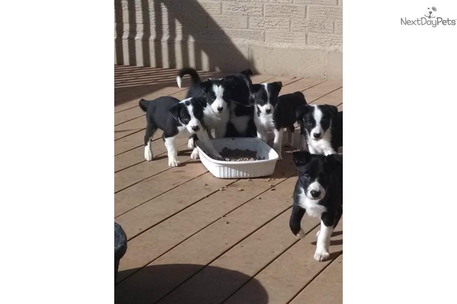 Border Collie Puppy For Sale Near St Joseph Missouri