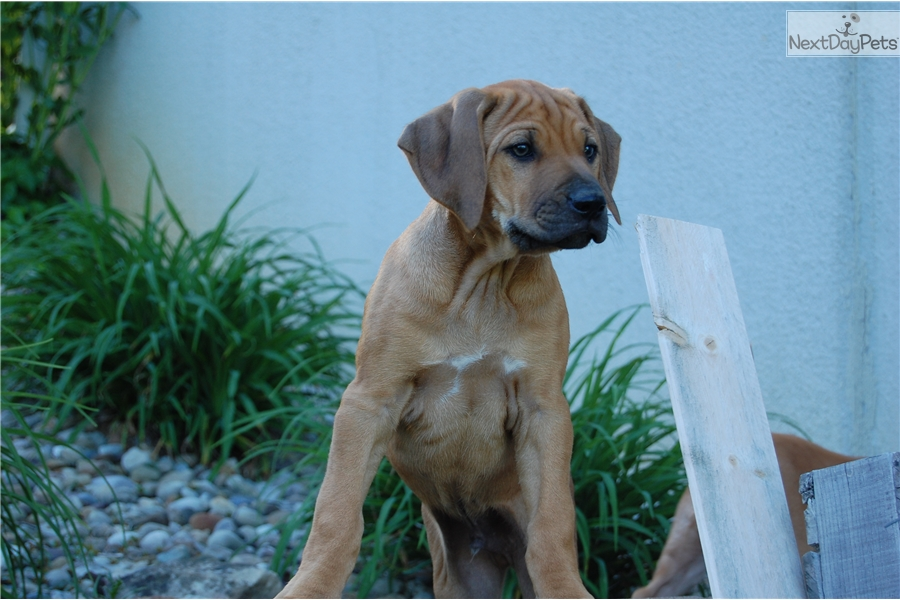 Dolan Rhodesian Ridgeback Puppy For Sale Near Pittsburgh