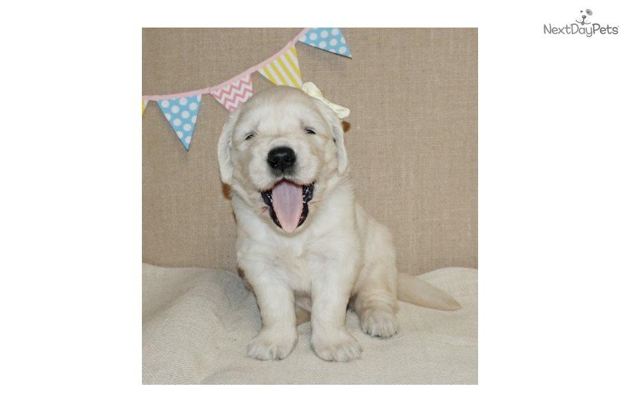 English Golden Retriever Puppy For Sale Near Southwest Va Virginia
