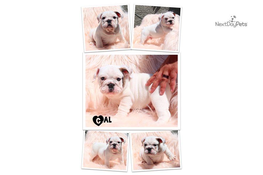 Cal: English Bulldog puppy for sale near Las Vegas, Nevada ...