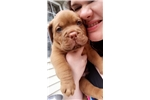 Dogue De Bordeaux for sale