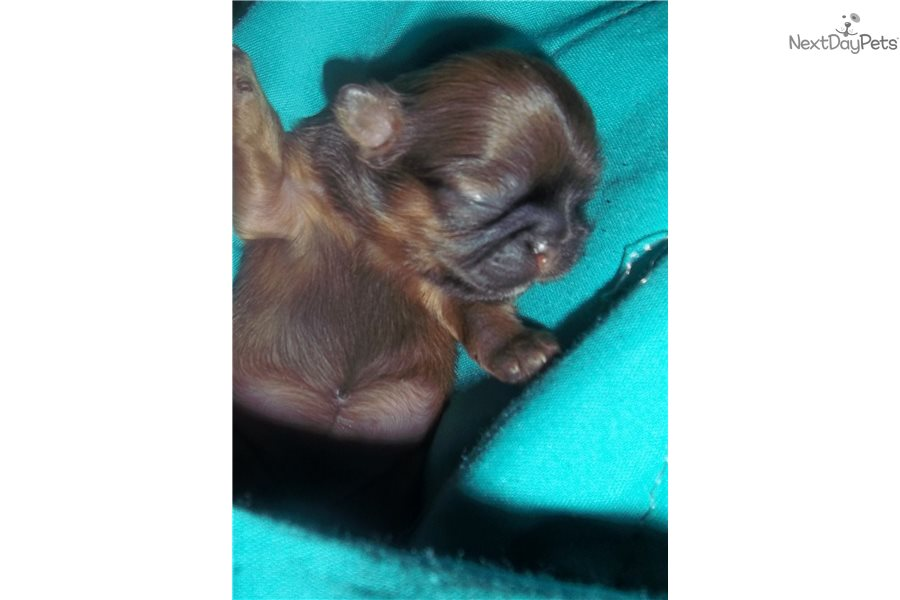 Mai Lis Tiinies Chinese Imperial Puppy For Sale Near Phoenix