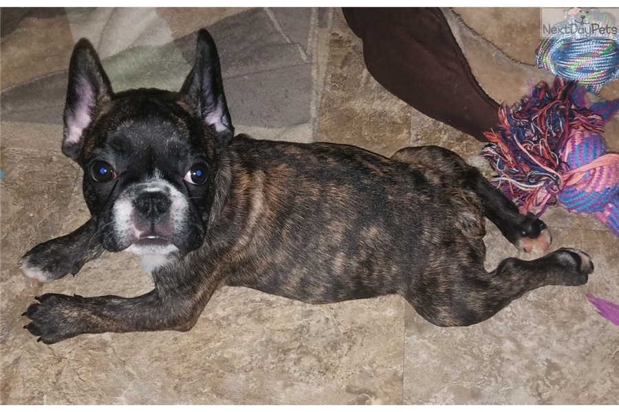 Brindle French Bulldog Puppy For Sale Near New York City New York