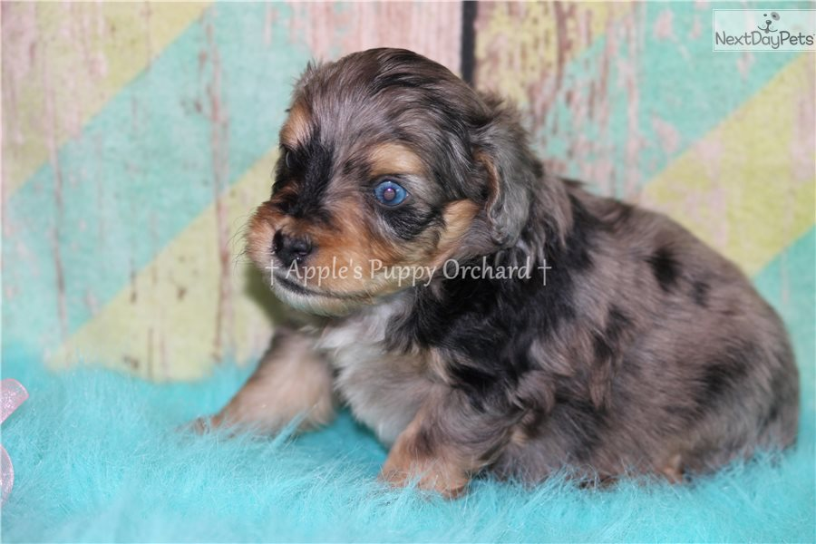 Toy Aussiedoodle Puppies Texas – Wow Blog