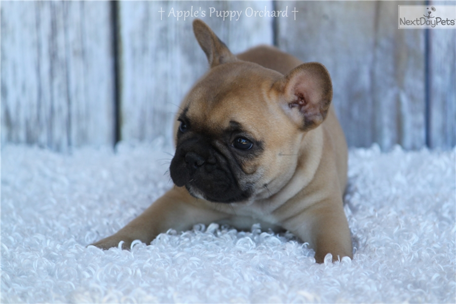 french bulldog rescue dallas french bulldog puppy for sale near dallas fort worth 7399