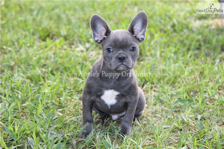 Liam: French Bulldog puppy for sale near Dallas / Fort Worth