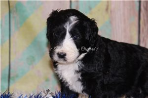 Asher | Puppy at 8 weeks of age for sale