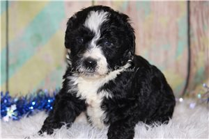 Cooper | Puppy at 8 weeks of age for sale
