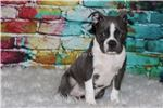 Picture of AKC Luther
