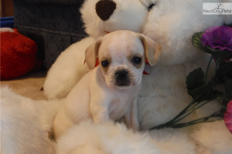 french bulldog rochester ny french bulldog puppy for sale near rochester new york 1064