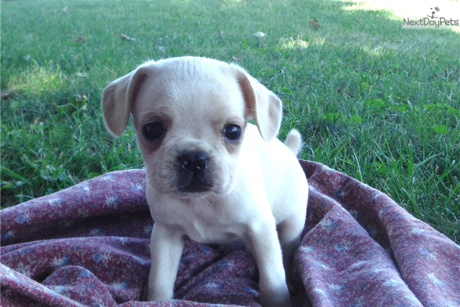 french bulldog rochester ny french bulldog puppy for sale near rochester new york 810