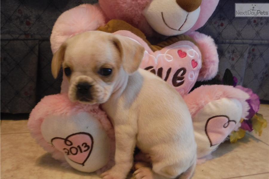 french bulldog rochester ny french bulldog puppy for sale near rochester new york 3960