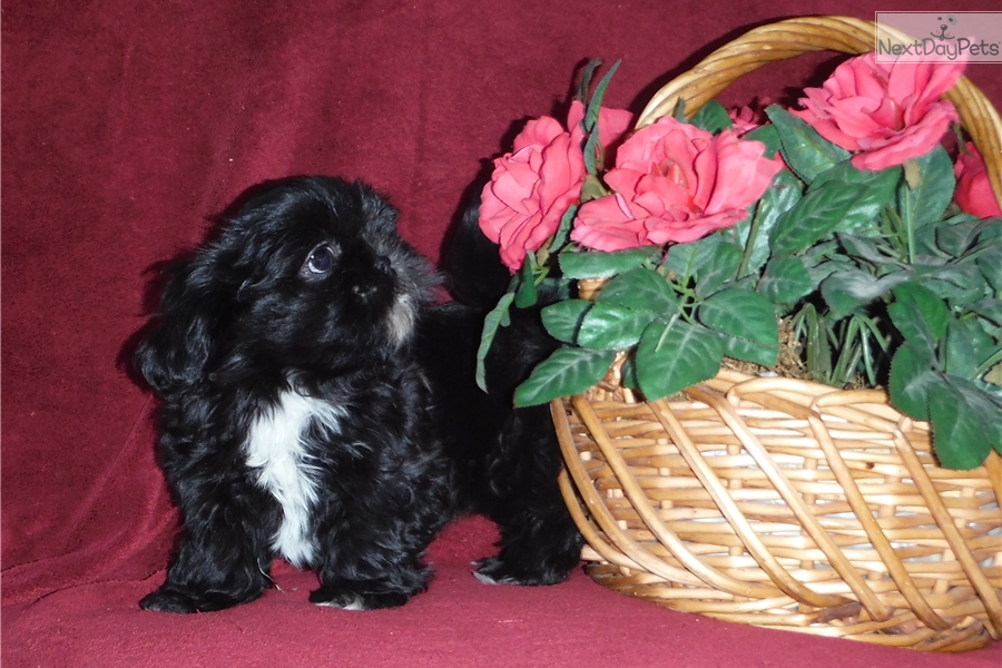 Shih Tzu Puppy For Sale Near Rochester New York Ea86a30d 2be1