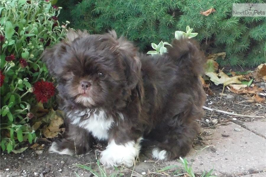 Shih Tzu Puppy For Sale Near Rochester New York Ecfe583d 0871
