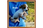 Picture of AKC red piebald wirehaire