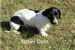 Picture of Akc black piebald wirehaire  male