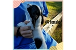 Picture of Akc black piebald wirehaire female