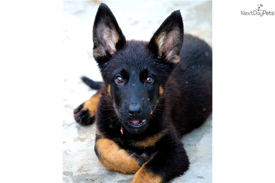 German Shepherd Puppy For Sale Near South Florida Florida