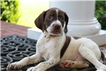 Picture of a Braque Francais (French Pointer) Puppy