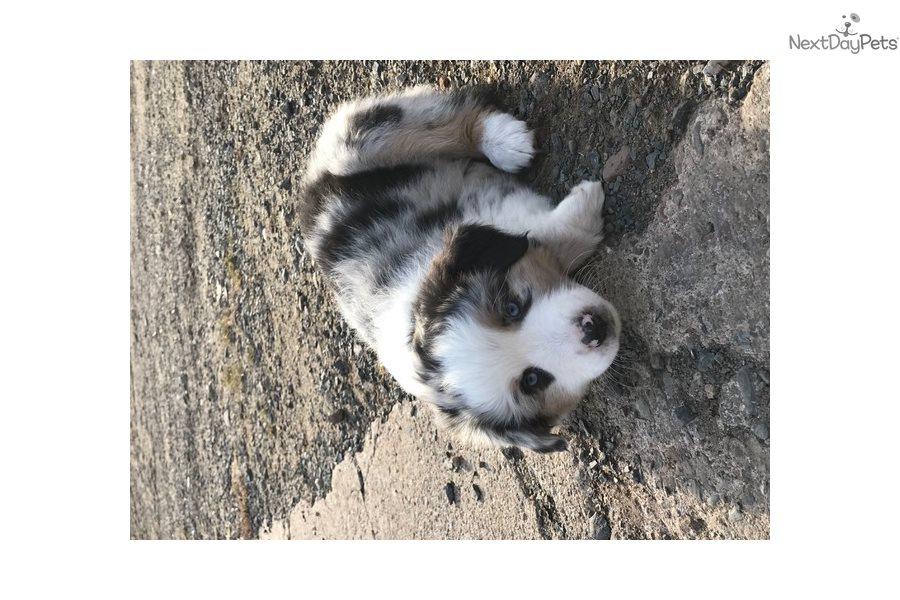 Miniature American Shepherd Puppy For Sale Near Eau Claire