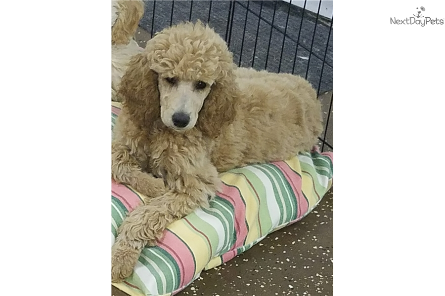 Hazelnut: Poodle, Standard puppy for sale near Eastern Shore