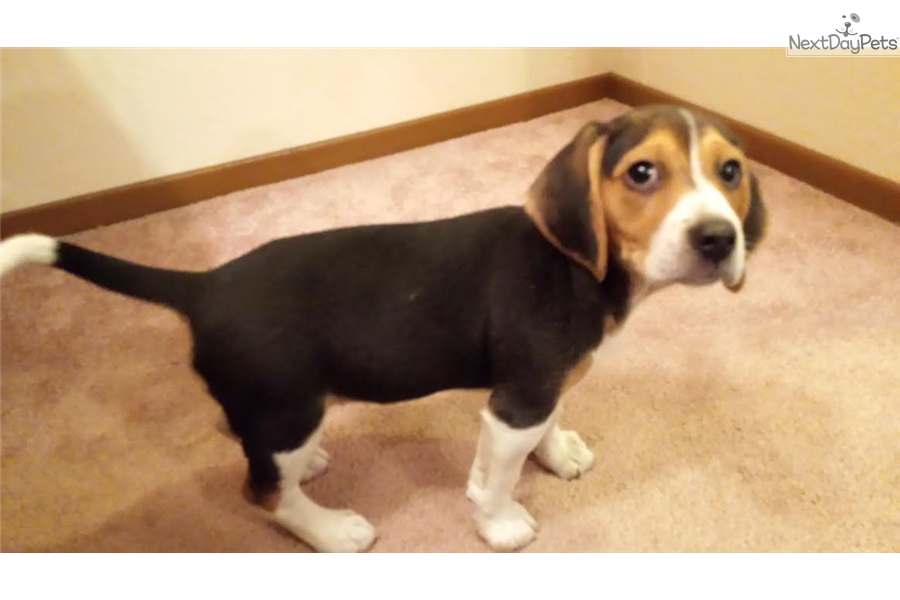 Boys Beagle Puppy For Sale Near Sacramento California Aafe3bf6 2201