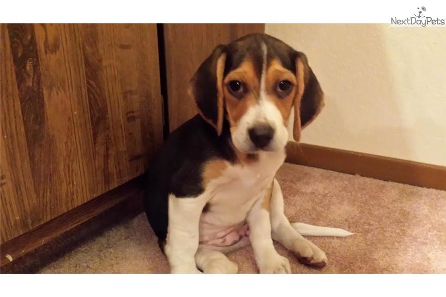 Girls Beagle Puppy For Sale Near Sacramento California B63d3775 45a1