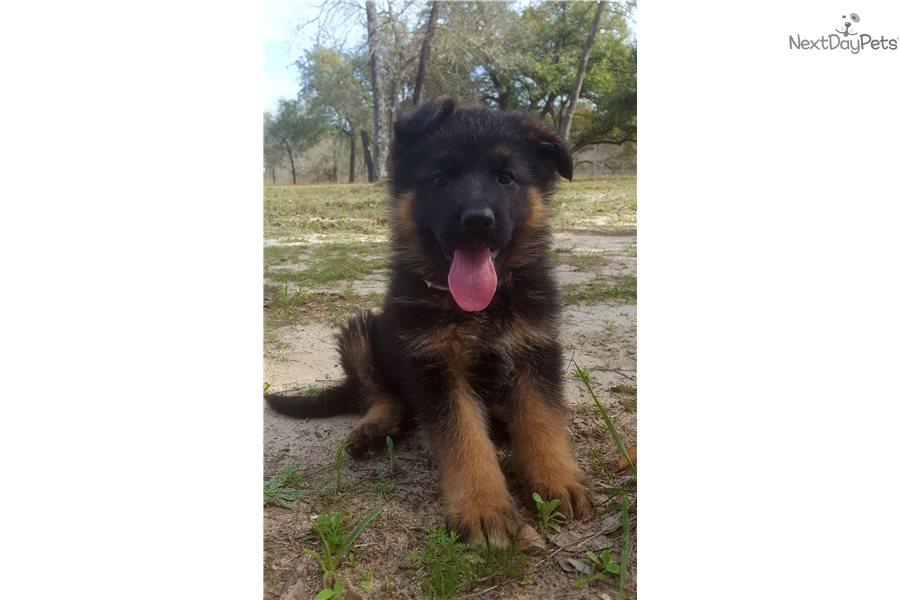 Brown Camo German Shepherd Puppy For Sale Near San Antonio Texas